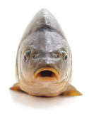 Big fresh carp. - 231750204