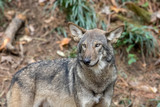 Red Wolf (Canis rufus) in Woods
