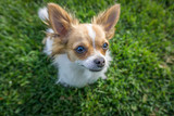 Long haired chihuahua looking up in the grass