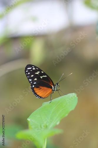 Butterfly - 231760647