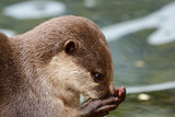 Head shot of an Asian small clawed otter eating - 231772036