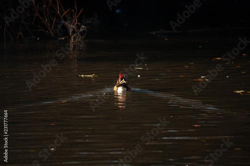 Foto Murales Mandarin Duck in NYC 1