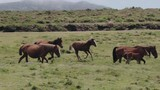 Foal catching up with its herd on plain in slow motion - 231786609