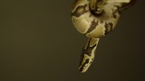 Baby phyton moving around hands. - 231787655