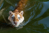 Tiger is in the pool to cool down.