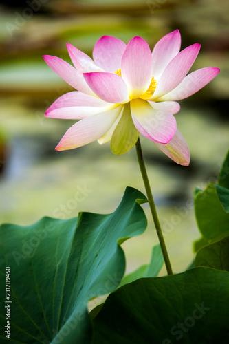 Lotus, Blume, Blüte, Wasser, Wasserpflanze, lila, pink