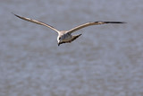 Heuglin's gull.  Conservation status  Least Concern (IUCN 3.1) Scientific classification e Kingdom:Animalia Phylum:Chordata Class:Aves Order:Charadriiformes Family: