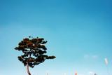 an oriental pine tree under the sky - 231791819