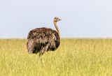 ostrich in grass - 231799647