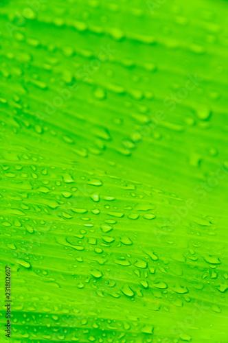 Leinwandbild Motiv Banana leaf with water drops. Abstract green background