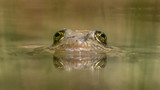 Columbian Spotted Frog - 231811442