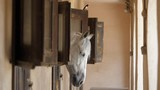 One horse white head out from wooden window in stable eating, black swallow sit  - 231823083