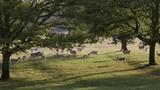 Slow Motion Deer Rutting in a Herd. - 231829268