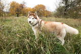 nice husky dog looking to playing or hunting in the grass in autumn park