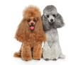 Two groomed Toy Poodles together