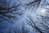 The sun shines through the bare branches of the trees against the blue sky. - 231842023