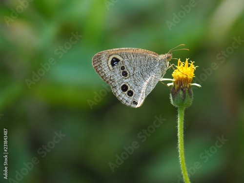 Common Fiver-ing is a Butterfly with brown And the dots look like eyes. On the green leaf Natural background blur In soft green It is a beautiful insect like to eat grass Or low shrubs - 231843487