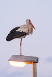 White stork on top of a street lamp in the evening