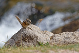 Small squirrel in a river landscape of Spearfish Canyon