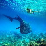 Snorkeling with whale shark. - 231857290