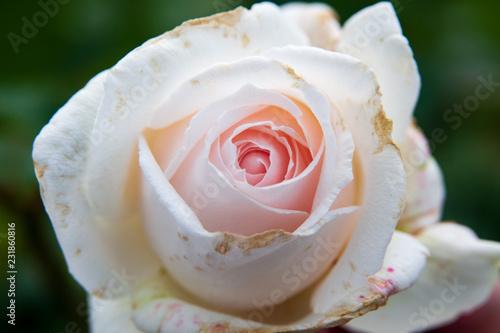 Rosenblüte weiß rosa