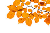 Yellow tree leaves isolated on white - 231862815