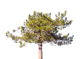 Young pine tree isolated on white - 231862840