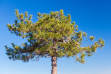 Young pine tree over blue sky background - 231862843