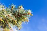 Spruce tree branch on blue sky background - 231862844