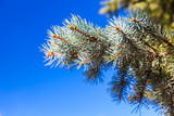 Spruce branch on a blue sky background - 231862856