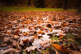 Fallen red leaves lay over lawn in park - 231862885