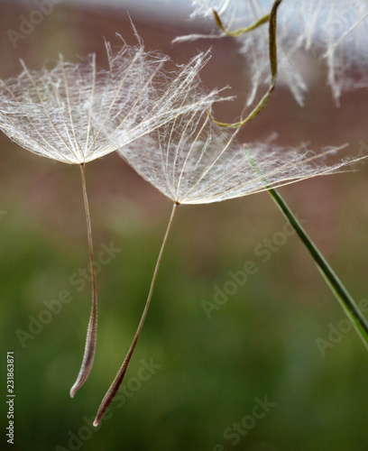 dandelion seeds on natural background