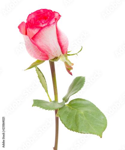 single rose isolated