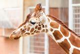 A head portrait of an african Giraffe - 231864888