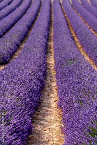 Foto Murales field of lavender