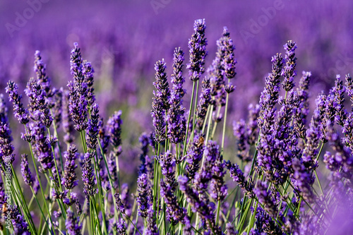 field of lavender - 231885688
