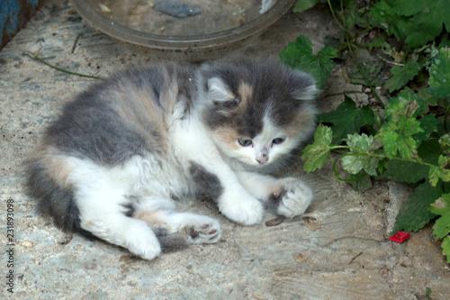 portrait of a fluffy kitten
