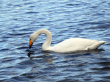 Swan on the water. - 231898044