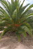 View of Phoenix dactylifera palm - 231903481