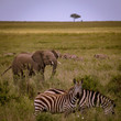 young elefant with herd of zebras