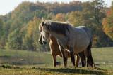 horses on the autumn graze - 231911232