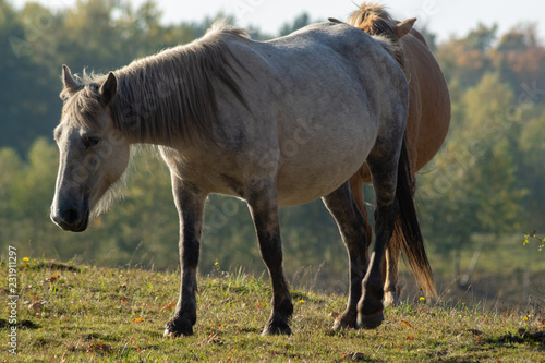 horses on the autumn graze