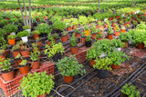 Seedlings of spearmint  growing in pots in sunny greenhouse - 231922422