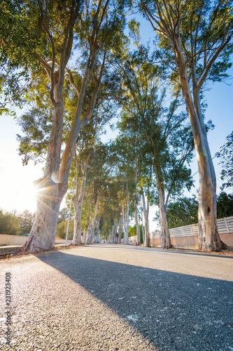 Eucalyptus street to beach in Kolymbia  (Rhodes, Greece)