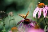 Beautiful monarch butterfly on top of a purple coneflower wildflower - 231927276
