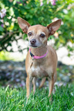 A small chihuahua dog wearing a pink collar stands outside on grass. - 231929636