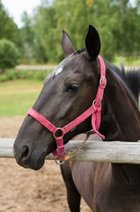 portrait of bay horse in a field behind a fence