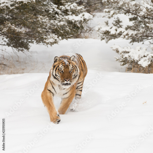 Wall mural Siberian Tiger in Snowy forest