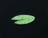 green lotus leaf isolated on black water