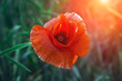 wild poppy flower at sunset